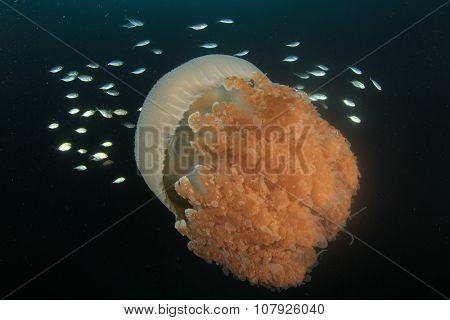 Large Pelagic Jellyfish