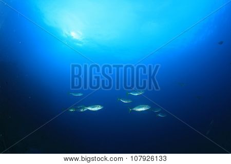 School Mackerel fish underwater