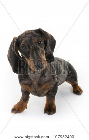 Lovely And Funny Dashund Miniature Isolated