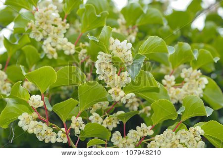 Actinidia (Hardy Kiwi) Plant With Flowers
