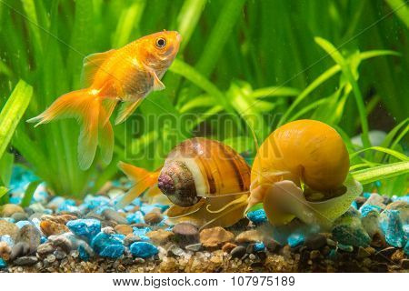 A Goldfish Swims By Two Snails Ampularia
