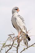 Pale Chanting Goshawk. Seen and shot on selfdrive safari tour through natioal parks in namibia africa. poster