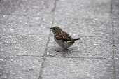 A single sparrow with a crunch in its beak on the pavement poster