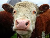 a cow sniffing me while i was photographing it. poster