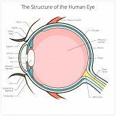 Human eye structure scheme medical vector illustration. Educational material poster