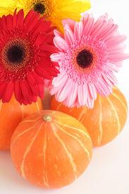 Three pumpkins and three colorful daisies