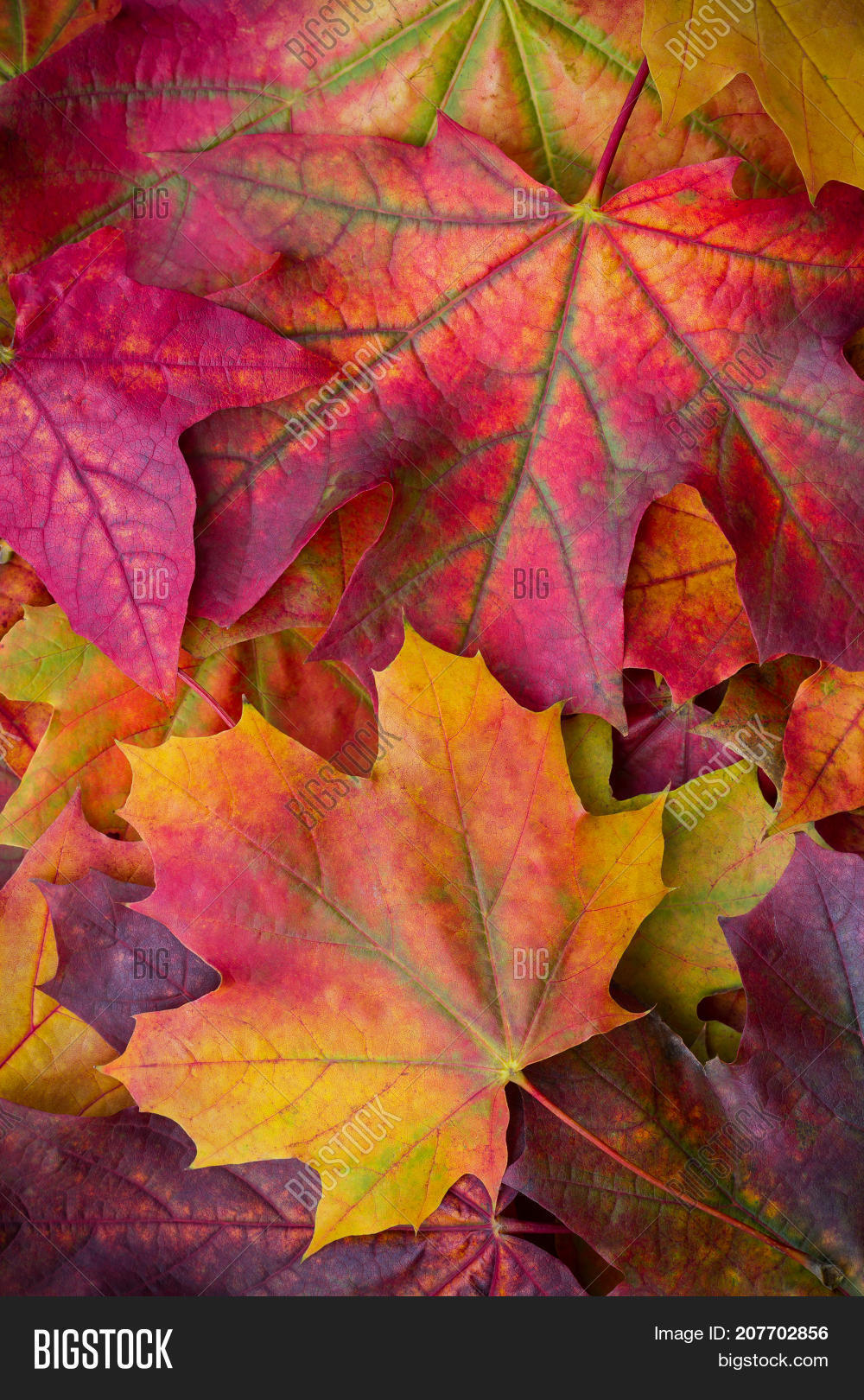 Amazing Multicolor Background Of Natural Autumn Foliage Colorful Leaves With Light
