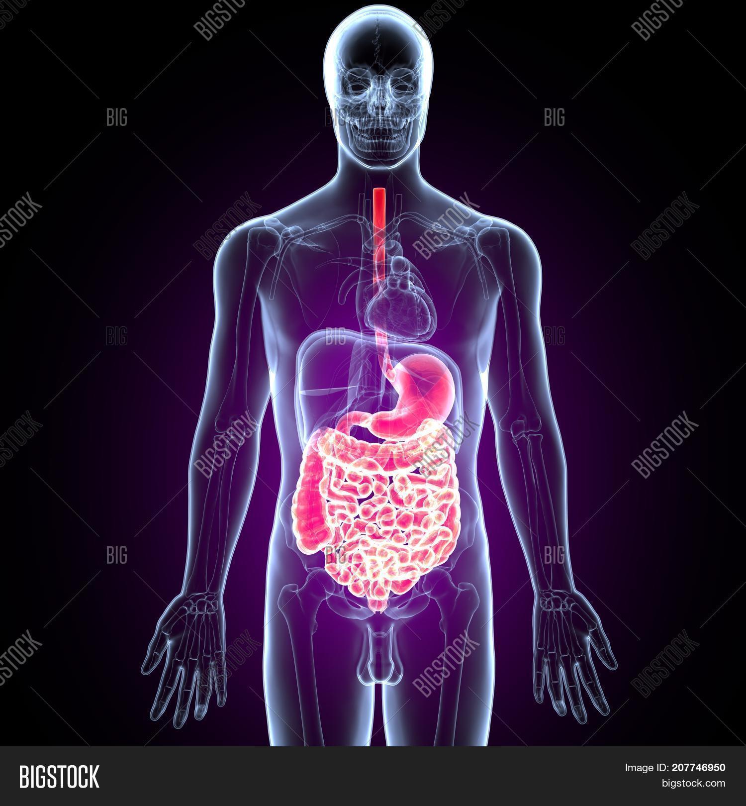 3D Illustration Human Digestive Image & Photo | Bigstock