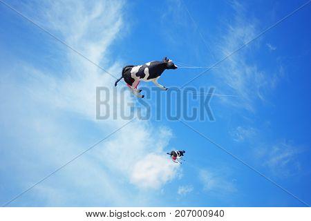 group of black white air cow kites flying high in the sky. Kite festival