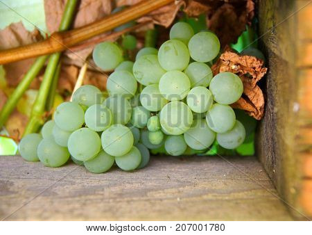 Green grapes, during harvest in back yard grape arbor,