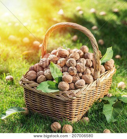 Walnut harvest. Walnuts in the basket on the green grass.