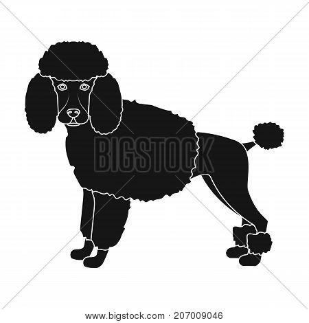 Poodle, single icon in black style.Poodle, vector symbol stock illustration .
