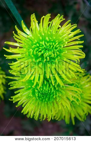 Green Chrysanthemum Flowers Chrysanthemum wallpaper, chrysanthemums in autumn. Beautiful chrysanthemum as background picture.