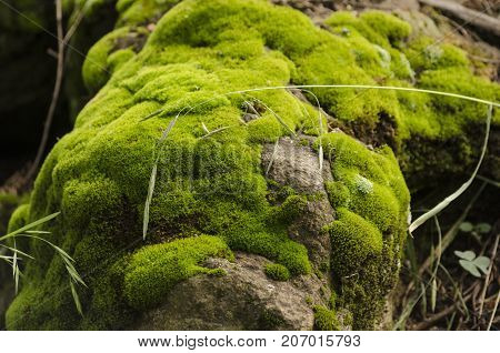 Moss and lichen covered stone. Bright green moss Background textured in nature.