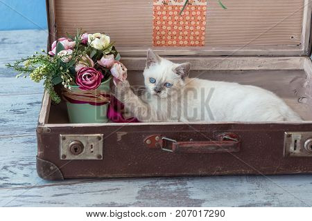 Scottish Straight Breed Kitten In Old Suitcase With Bouquet