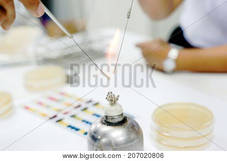 Microbiologist burn loop and needle by alcohol bunsen burner for aseptic technique
