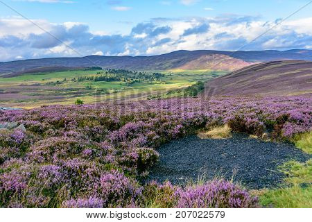 Heather On The Gently Rolling Hills Of  Northern Scotland