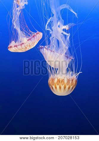 Orange jellyfish in a blue sea background