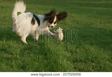 Beautiful young male dog Continental Toy Spaniel Papillon playing with plush toy on a green lawn