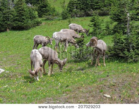 Big horn rams amongst the glacier lilies at Logan Pass in Glacier National Park Montana