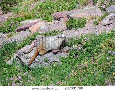 Hoary Marmot on a Rock Glacier National Park Montana