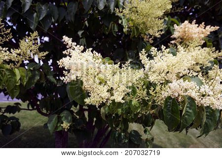 A Japanese tree lilac (Syringa reticulata) blooms in the Wesmere Country Club subdivision of Joliet, Illinois, during June.