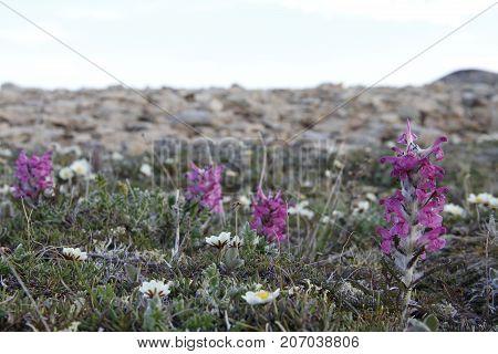Woolly lousewort (Pedicularis lanata) on the Canadian arctic tundr