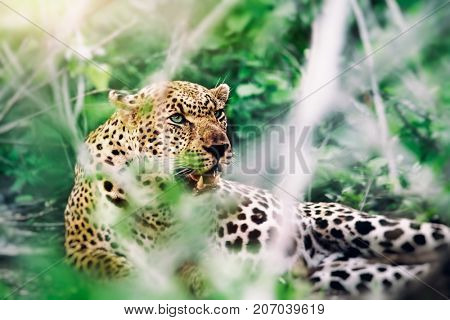 Safari, beautiful leopard lying down in the forest, great powerful animal relax outdoors, big five, dangerous predator, wild nature of South Africa