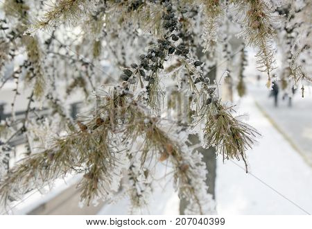 Snow-cowered Larch Branches With Cones.