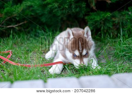 Portrait of a Siberian Husky puppy walking in the yard. Little cute puppy of Siberian husky dog outdoors.