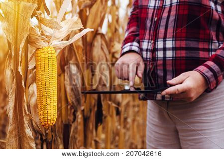 Female agronomist analyzing corn maize crops plantation for harvest after the summer drought selective focus on corn on the cob