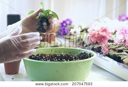 Growing violet- how to grow violet. Transplant flowers in pots. Florist transplant small violets.