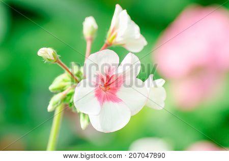 Beautiful geranium flower blossom in a garden, fragrant flowers