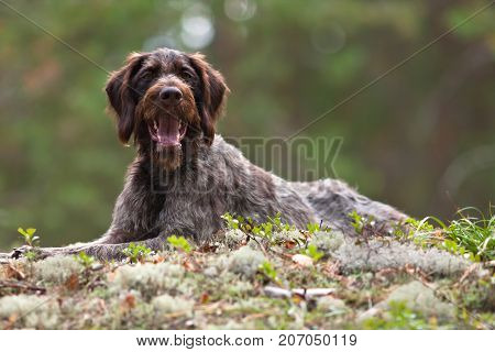 portrait of german wirehaired pointer outdoors on blurred background