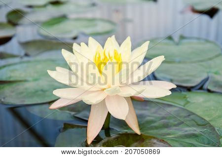 Yellow waterlily flower blossom in a pond