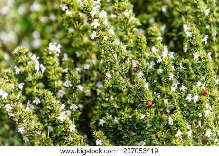 Savory Plant - Winter Savory Herb Plant (Satureja hortensis)