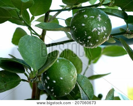Mealybugs considered pests on lemon tree. Mealybugs are insects in the family Pseudococcidae
