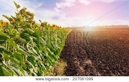 Fields with blossoming sunflower and arable land in the background of sunset.