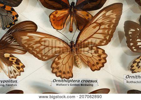 Ornithoptera Croesus or wallace golden birdwing in a museum