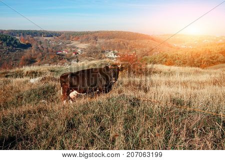 One Horned Black Cow Grazing On The Autumn Glade With Yellow And Green Grass On The Background Of Co