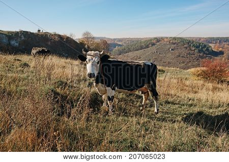 One Horned Black And White Cow In A Full Height Is Grazing On The Autumn Glade And Staring At The Ca