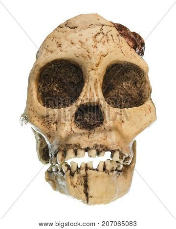 Australopithecus Africanus Skull . ( Taung Child ) . Dated To 2.5 Million Years Ago . Discovered In