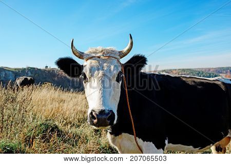 Close-up One Horned Black And White Cow Grazing On The Autumn Glade And Staring At The Camera