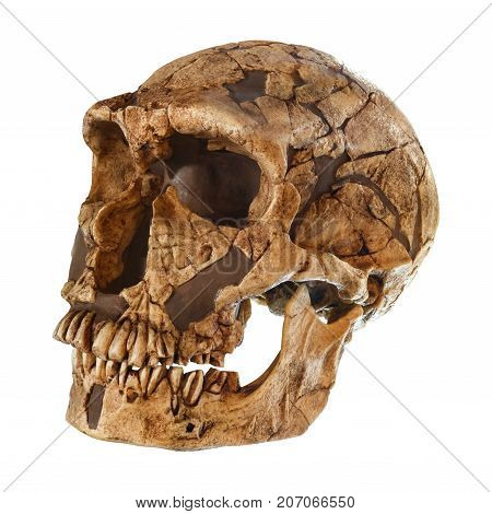 Homo Neanderthalensis Skull . ( La Ferrassie ) . Dated To 50,000 Years Ago . Discovered In 1909 In L