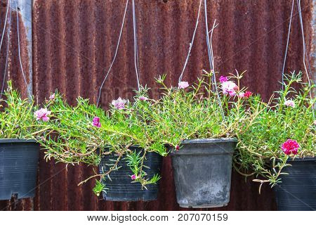 Pretty Moss Rose pink flower pot hanging with rusty zinc corrugated iron metal siding on the background.