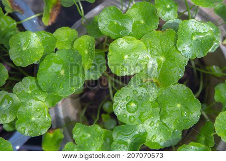 Green asiatic Pennywort leaf or Centella Asiatica with drops of water from rain after raining.
