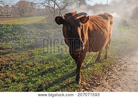 One Horned Brown Cow In A Full Height On The Autumn Fumed Glade Is Looking At The Camera