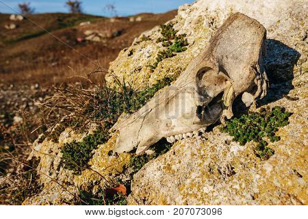 Close-up Background Of Bull's Head Skeleton Lies On The Stone Against The Background Of The Greenfie