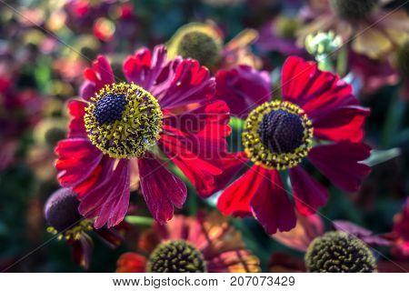 Natural background of beautiful blooming red gerbera daisies.