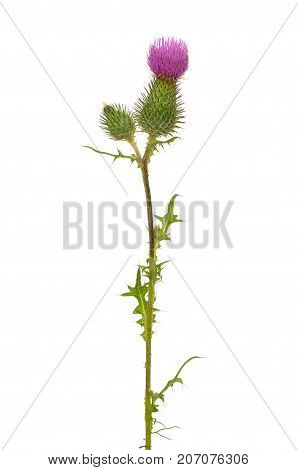 Onopordum acanthium (cotton thistle Scotch thistle) flower isolated on white background